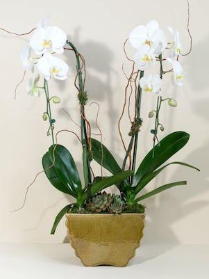 Double White Phalaenopsis Orchid Planter