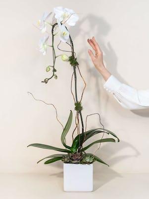 Single White Phalaenopsis Orchid Planter