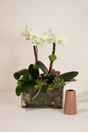 Double Mini Phalaenopsis Orchid-Clear Glass