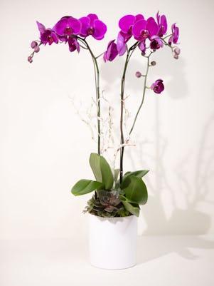 Double Purple Phalaenopsis-White Ceramic