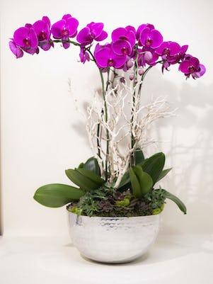 Four Purple Phalaenopsis Orchid-Silver Bowl