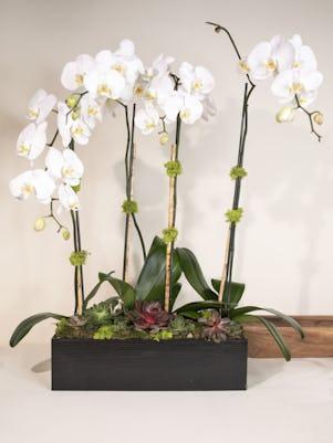 Four White Phalaenopsis Plants-Wooden Box