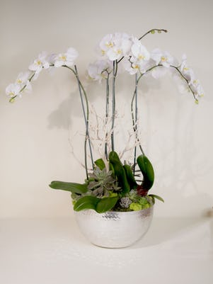 Four White Phalaenopsis Orchids- Silver Bowl