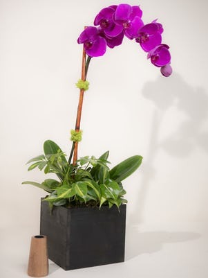 Single Purple Phalaenopsis Orchid- Wooden Box